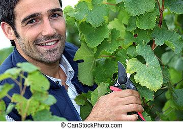 Man pruning vines