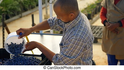 Man putting blueberries in crate 4k - Side view of a mixed ...
