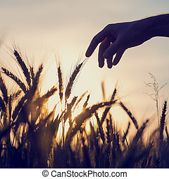 Man reaching out to touch wheat ears