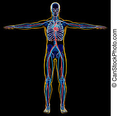 Man skeletal and cardiovascular system. x-ray.