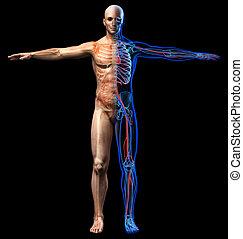 Man skeletal, internal organs diagram and x-ray cardiovascular system.