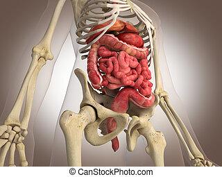 Man skeleton with internal organs. 3 D digital rendering.