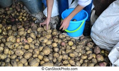 man sorts potatoes harvest
