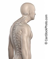 Man spine kyphosis phase 3 isolated - Man spine kyphosis...
