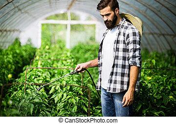 Man spraying tomato plant in greenhouse