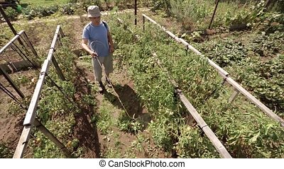 Man uses shoulder strap mounted, pressurized pump canister to spray tomatoes vines with pesticide on a sunny morning.