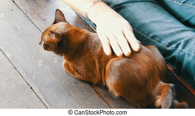Man strokes a beautiful cat of unusual brown color - A man...