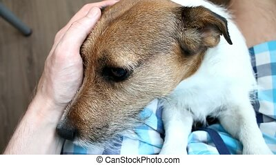 Man stroking a dog. Jack Russell terrier