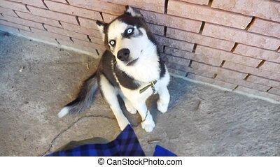 man, stroking, een, husky, dog, van, de, eerst, person., slowmotion, video., man, stroking, een, dog, husky., vriendschap, man, man, en, dog, levensstijl, concept