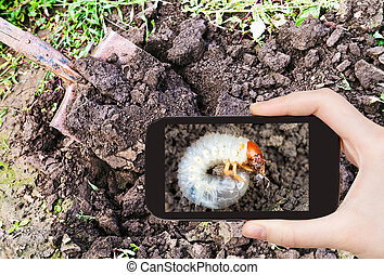 man taking photo of grub of cockchafer in garden - garden...