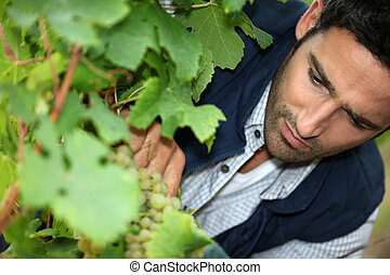 Man tending vines