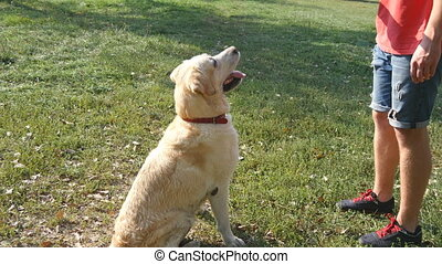 Man throwing stick or toy for animal for his dogs. Labrador or golden retriever going to fetch wooden stick. Male owner and his domestic animal playing outdoor at nature in summer. Close up