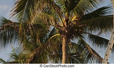 Man trimming palm tree - Working man cutting leaves and...