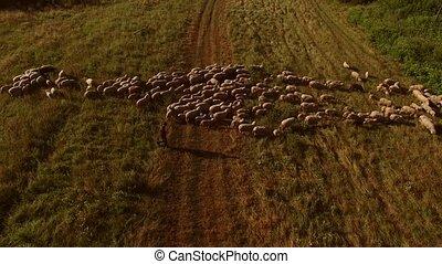 Man walking near sheep flock.