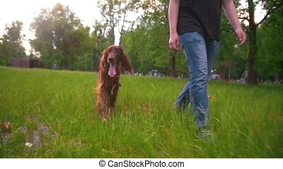 Man walking with his dog irish setter in the park slow...