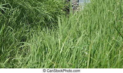 Man walks along the thick grass in khaki boots of protective color