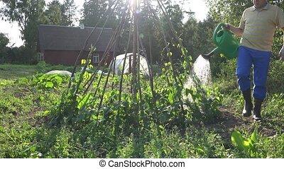 man watering beans in garden. Casual work in garden. 4K