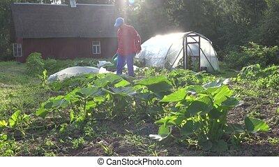 man watering fresh pumpkin and zucchini in own eco garden. 4K