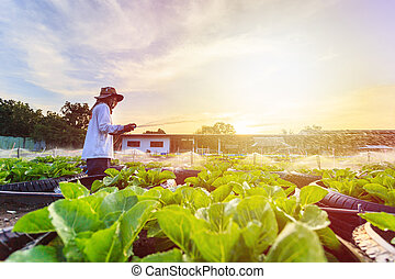 Man watering in organic vegetable farm with sunset effect background