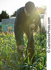 Man with Pitchfork Pulls Ripe Leek from Ground