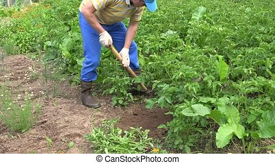 man with rustic shovel digs potatoes in the bed in country....