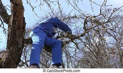man worker cut prune old apple tree branch in spring garden....