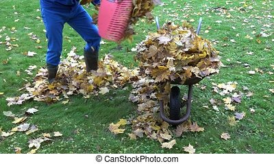 man worker gather dry maple leaves into old rural barrow. 4K...