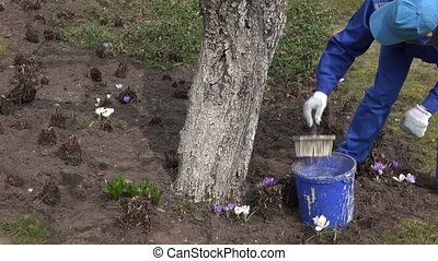 man worker paint tree trunk with brush spring time orchard....