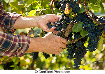 Man working in a vineyard - Vintner picking grapes with ...