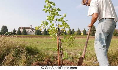 man working in the garden - man staking a new Apricot Tree