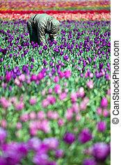man working in tulip field