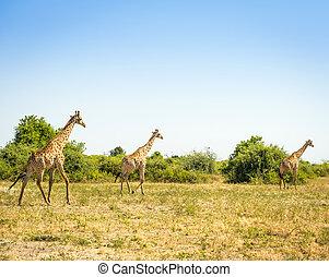 manada,  áfrica, Jirafas