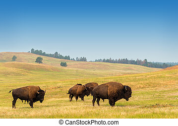 manada de búfalo