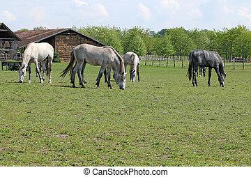 manada de caballos, en, granja