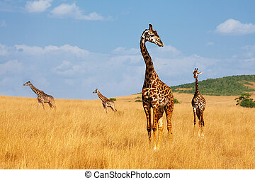 manada, de, jirafas, ambulante, en, árido, keniano, sabana