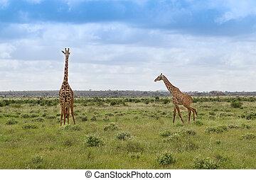 manada, de, jirafas, en, el, sabana