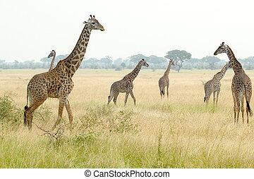 manada, de, jirafas, en, tanzania