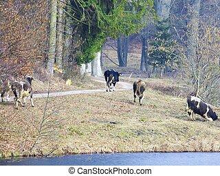 manada, de, lechería, vacas, cultive animales, en, el, orilladel río, o, orilla de lago