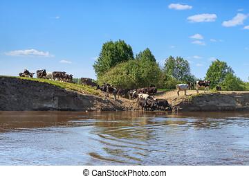 manada, río, vacas, banco, escarpado