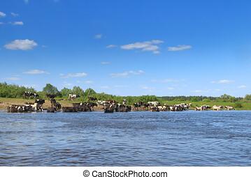 manada, río, vacas, pasto, banco