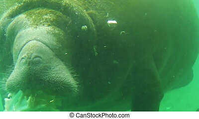 Manatee eating Florida - Manatee eating vegetables in...