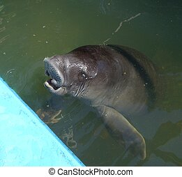Manatee in a pond - Baby manatee animal in rescue center in...
