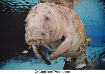 Manatee Swimming Underwater - Close up of a manatee swimming...