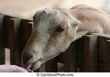 mancha, goat, la