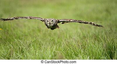 manchado, águila, vuelo, búho
