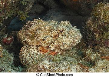 manchado, bonaire, -, esperar, emboscada, presa, scorpionfish, su