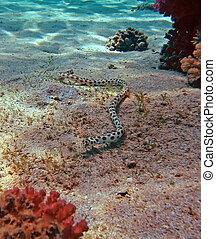 manchado, cobra, enguia, em, a, mar vermelho, recife coral
