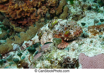 manchado, cozumel, scorpionfish, -