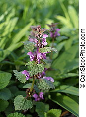 manchado, deadnettle