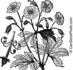 manchado, grabado, vendimia, maculatum, geranio, o